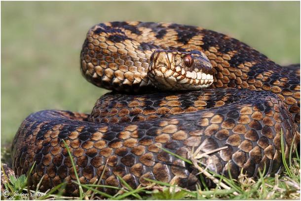 viper-grass