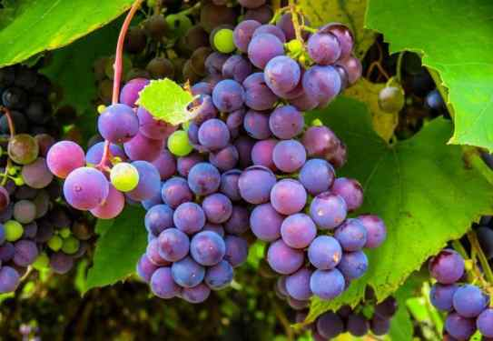 Purple-Grapes.jpg
