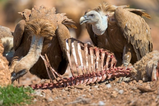 """Eurasian Griffon Vulture (Gyps fulvus) in the game reserve, feeding station, Province of Lleida, Spain"""