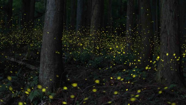 View Of Fireflies Glowing Amidst Trees In Forest